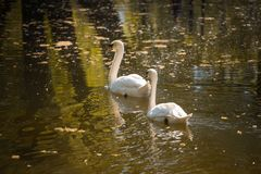Swan Love. Two swans on a background of water Royalty Free Stock Images