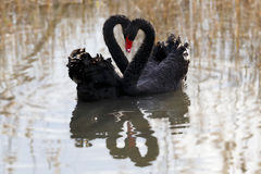 Swan love. Two swans romantic wedding in the pond Stock Images