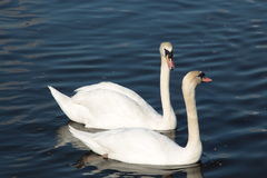 Swan lovers Royalty Free Stock Photo