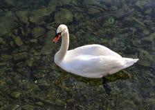 Swan on Lucerne lake Royalty Free Stock Photos