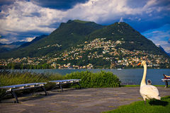 Swan in the Lugano park Stock Images