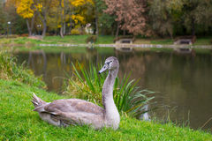 Swan lying on the grass near the pond. royalty free stock photo