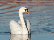 Swan male Stock Image