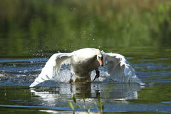 Swan male monitors and intimidates on his lake. Nature habitat, european wildlife, great and beautiful birds, love Stock Photography