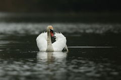 Swan male monitors and intimidates on his lake. Nature habitat, european wildlife, great and beautiful birds, love Royalty Free Stock Photo
