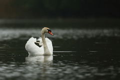 Swan male monitors and intimidates on his lake Royalty Free Stock Photos