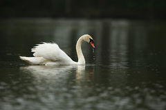 Swan male monitors and intimidates on his lake. Nature habitat, european wildlife, great and beautiful birds, love Stock Images