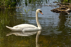 Swan in the marsh Royalty Free Stock Photo