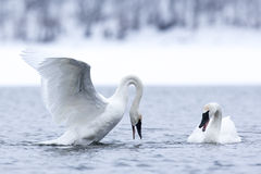 Swan mating dance Royalty Free Stock Photos