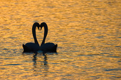 Swan mating ritual at sunset, Switzerland Stock Image