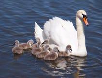 Swan med fågelungar royaltyfri foto