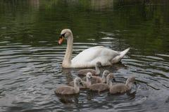 Swan med fågelungar royaltyfri bild