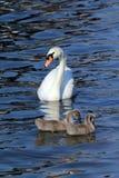Swan med familjen Royaltyfri Bild