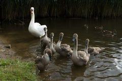 Swan med unga ducklings arkivbilder