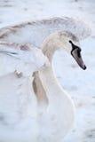 Swan med vitfjädrar Arkivbilder