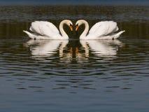 swan miłości. Obrazy Royalty Free