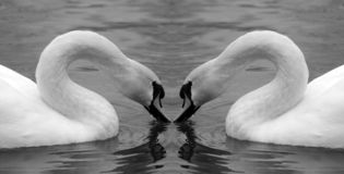 Swan mirror Royalty Free Stock Image