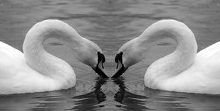Swan mirror. A single swan shot mirrored Royalty Free Stock Image