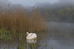 Swan in mist Southampton Common. Swan in the mist on the Ornamental Pond at Southampton Common Stock Photos