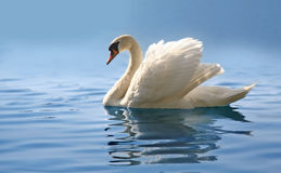 Swan on misty blue lake