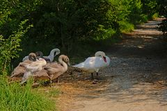 Swan family standing on a path through nature stock images