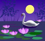 Swan in the Moonlight. A white swan swimming in a pond with Stock Image