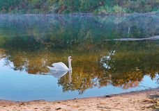 Swan and morning fog, Swan in the morning on the lake stock photos