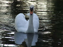 Swan. In mote at bok tower garden Stock Photo