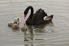 Swan mother and babies Royalty Free Stock Images