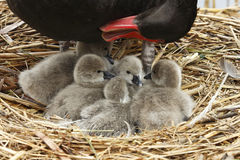 Swan mother and babies Stock Images