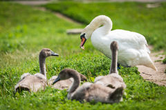 Swan mother with cygnet Royalty Free Stock Photo