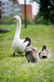 Swan mother with cygnet Stock Photos