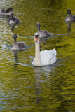 Swan mother and cygnets Stock Photos