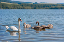 Swan. Mother swan with her babies Royalty Free Stock Photos