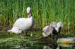 Swan mother. A swan mother and her kids Stock Images