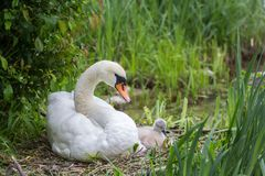 Free Swan Mother With Baby Cygnet Sitting In The Brooding Nest Stock Photography - 117129202
