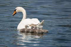 Free Swan Mother With Her Children Royalty Free Stock Photos - 127402758