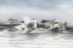 Swan in motion Royalty Free Stock Photography