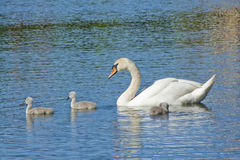 Swan mum Royalty Free Stock Photography