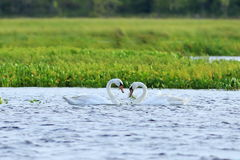 Swan mute. A couple of birds in the Yamal forest-tundra in the s Stock Image