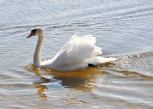 Swan (mute swan) swimming in lake Royalty Free Stock Photography