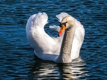 Swan, Mute Swan, Water Bird, Bird Stock Images