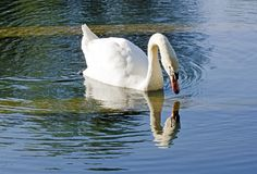 The swan Narcissus Royalty Free Stock Photography