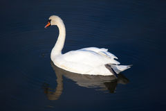 Swan in the natural park of Saja-Besaya Royalty Free Stock Photography