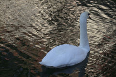 Swan in the nature Royalty Free Stock Image