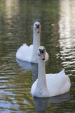 Swan in the nature Royalty Free Stock Images