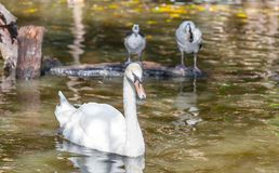 The swan in the nature pond Stock Photos