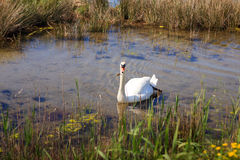 Swan in the nature reserve of the Isonzo river Royalty Free Stock Images