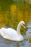 Swan on Nature water Royalty Free Stock Image