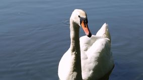 A swan is near. White swan close to the shore of the lake swam, summer morning stock video footage
